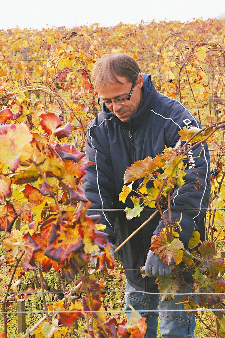 不同於慣行農法,樂華酒莊的葡萄都不修葉,但卻讓葡萄樹保有更好的均衡。圖/林裕森
