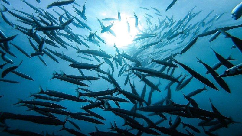 小巴里島岩水域一年四季都有梭魚出沒,潛客能在此處看見梭魚共游形成的「梭魚風暴」。...