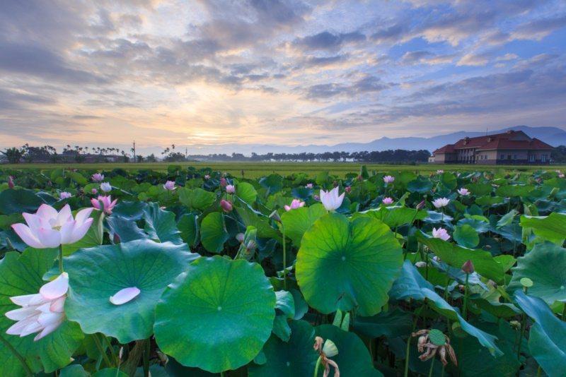 台南白河晨曦蓮花呈現另番不同風情。 圖/台南市政府觀旅局提供