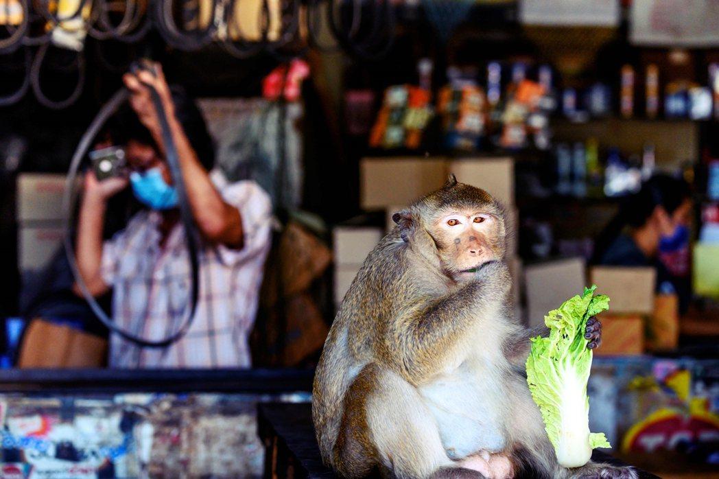 「猴城」近年人猴關係緊張,尤其在疫情期間似乎又有所惡化。 圖/法新社