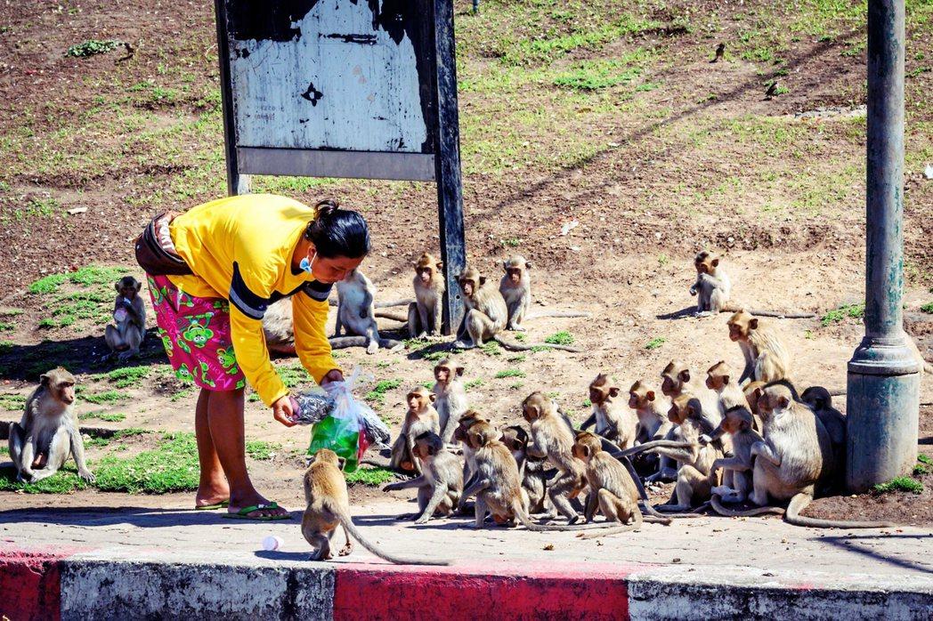 根據《法新社》,華富里當地的猴子約有6,000多隻。 圖/法新社
