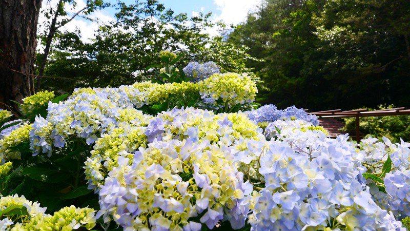 台中武陵農場的繡球花今年6月上旬陸續開花,目前正盛開。圖/武陵農場提供