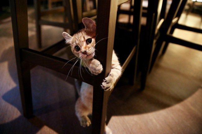 除了有美味茶調酒,店貓Chandon的存在讓不少酒客也為之圈粉。記者余承翰/攝影...