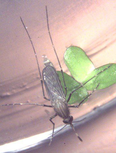 台灣研究團隊首度在蚊子身上,發現人畜共通新興傳染病坦布蘇病毒。圖為三斑家蚊。 圖...