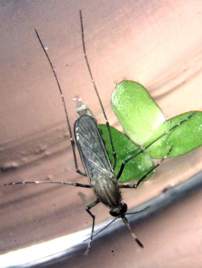 三斑家蚊雌蚊。圖/疾管署提供