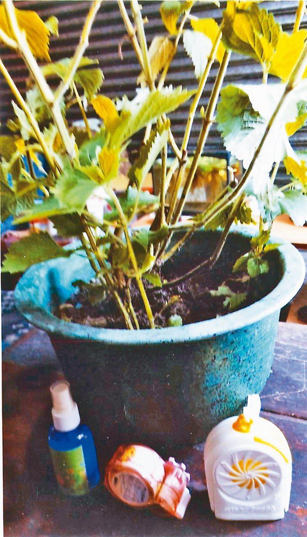客家抹草當盆栽可觀賞,並有防蚊作用。圖/黛影提供