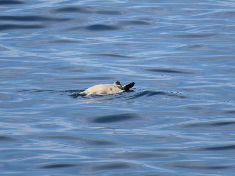 遠方漂垃圾竟是死海龜,陳信助5年發現15隻死海龜。圖/陳信助提供