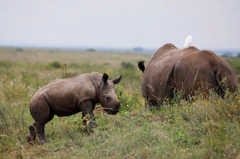 瀕臨絕種的南非白犀牛。 法新社