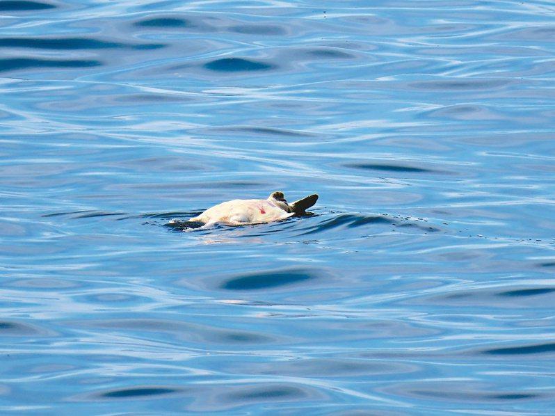 海上漂垃圾竟是死海龜,志工陳信助5年發現15隻死海龜。圖/陳信助提供