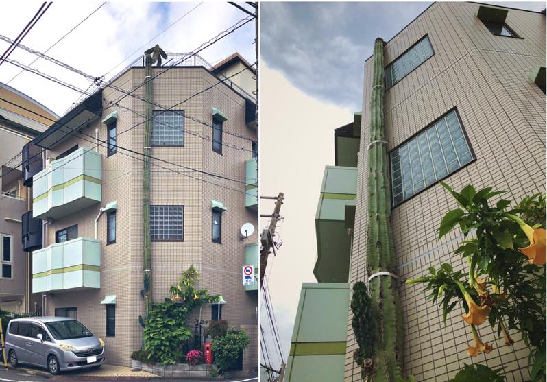 一名日本網友在自己的推特(Twitter)上PO表示,他在路過一棟公寓建築時,赫然發現有一根奇怪的「彩色電線竿」,隨後看了「10遍」後才發現原來是一根仙人掌。圖擷自Twitter
