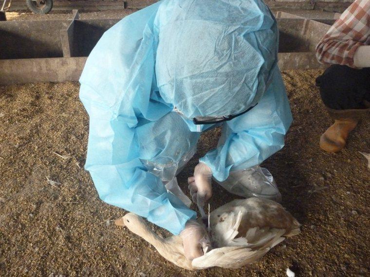 台南市農業局呼籲蛋鴨場加強防範新興坦布蘇病毒。圖/農業局提供