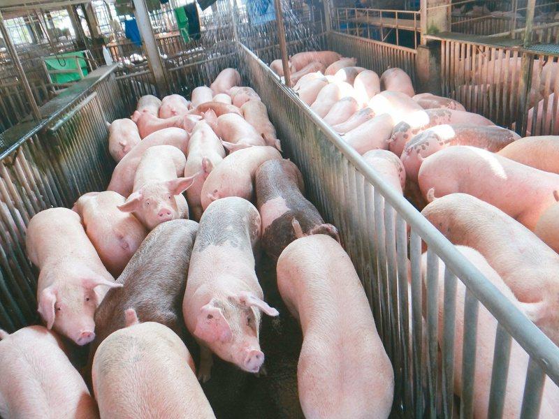 林口長庚團隊追蹤三年,針對豬肉產業鏈採檢,發現肉品從屠宰場出場後,非傷寒性沙門氏菌含量增加。建議民眾選擇冷鏈保存豬肉,並注意烹煮避免交叉汙染。  本報資料照