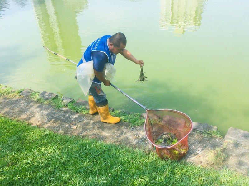 北市大湖、碧湖公園遭琵琶鼠入侵,炎夏出現死亡潮,魚屍一經曝曬,陣陣惡臭。記者張世杰/攝影