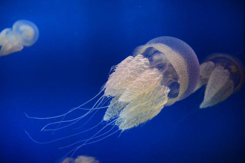 屏東海生館最近引進的端鞭水母,體色潔淨純白,游泳時擺動近2倍身長的觸鬚,如夢幻少女穿著澎裙跳圓舞曲。圖/海生館提供