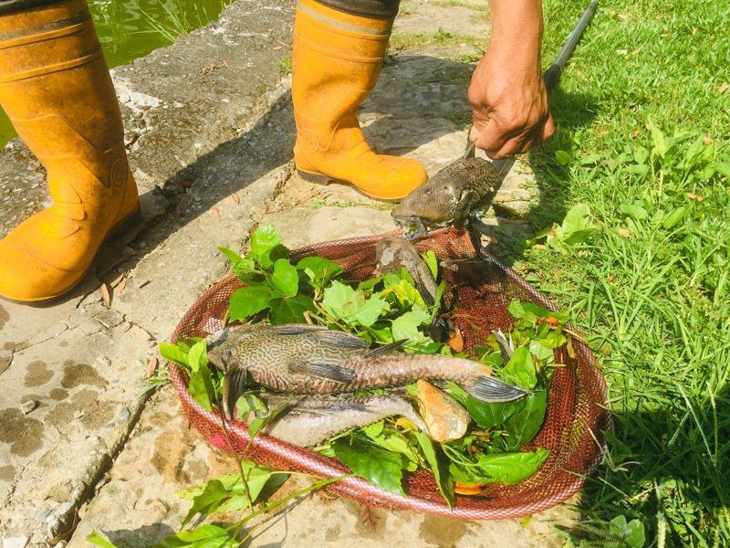 琵琶鼠魚生命力頑強,就算投入防治,短期效果也不好。記者張世杰/攝影