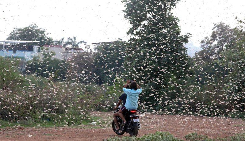 印度首都新德里約多地出現大量蝗蟲群。 歐新社