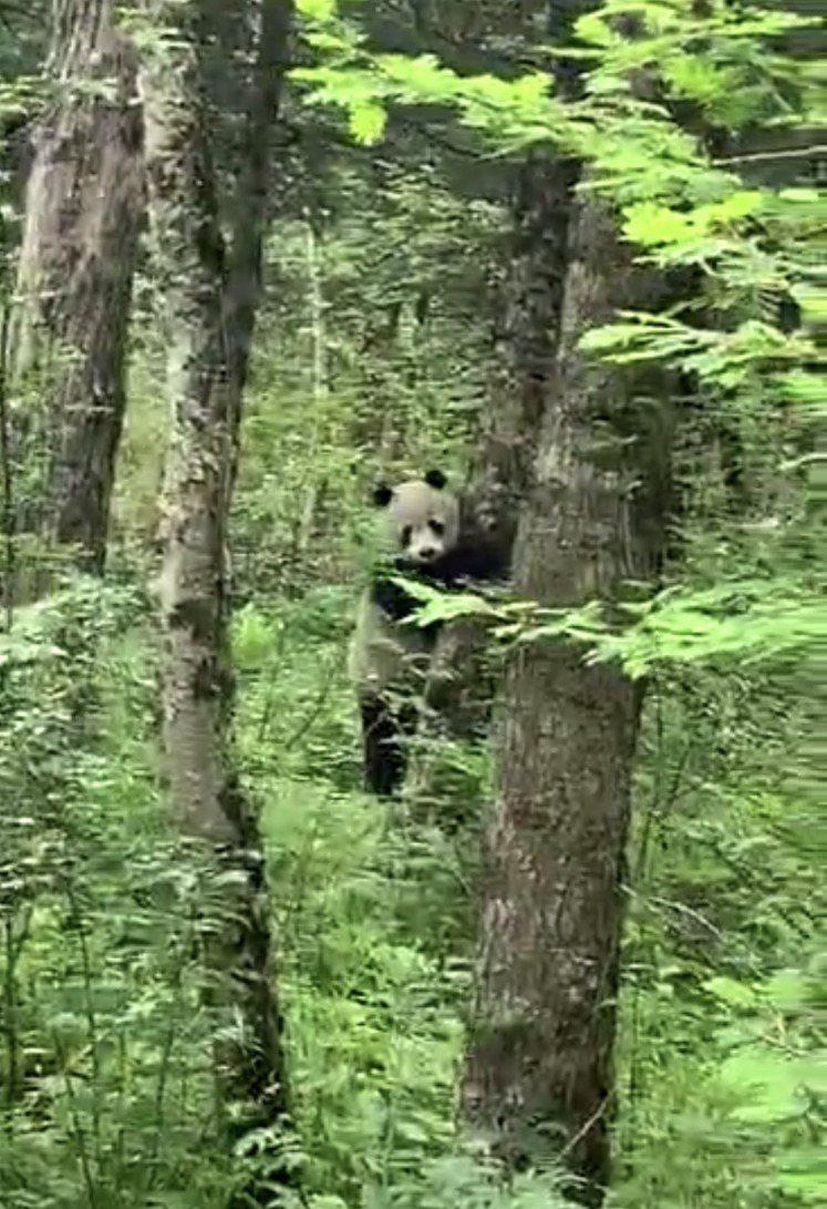 大熊貓國家公園太白山管理分局野外調查隊員,日前在太白山海塘河冰凌溝架設紅外線相機時,偶遇一隻野生大熊貓。圖/翻攝自新浪網