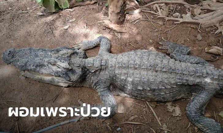 泰國這隻鱷魚因誤食遊客亂丟的寶特瓶和垃圾而生病,整個身軀瘦成皮包骨。圖擷自Thai Newsroom