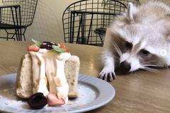 知名寵物咖啡廳遭控「放狗咬浣熊」 負責人提告:動物備受呵護