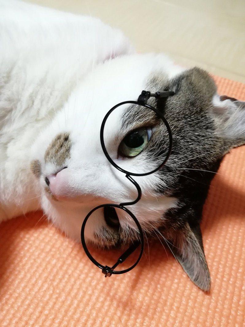 日本有雜貨店推出「寵物眼鏡」,貓咪戴上後即時有文青感覺湧現。  圖擷自Twitter帳號「koh_tw」