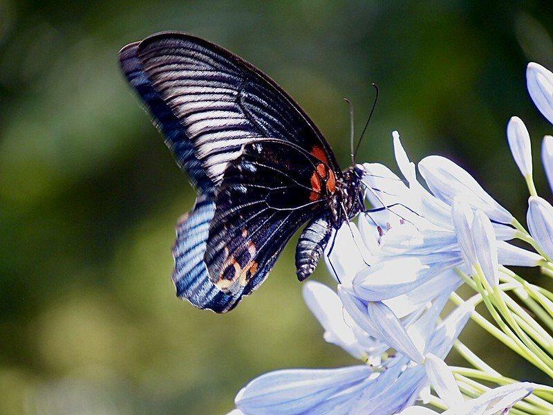 很多隻的蝴蝶飛不停,這一隻一直來打擾我們。
