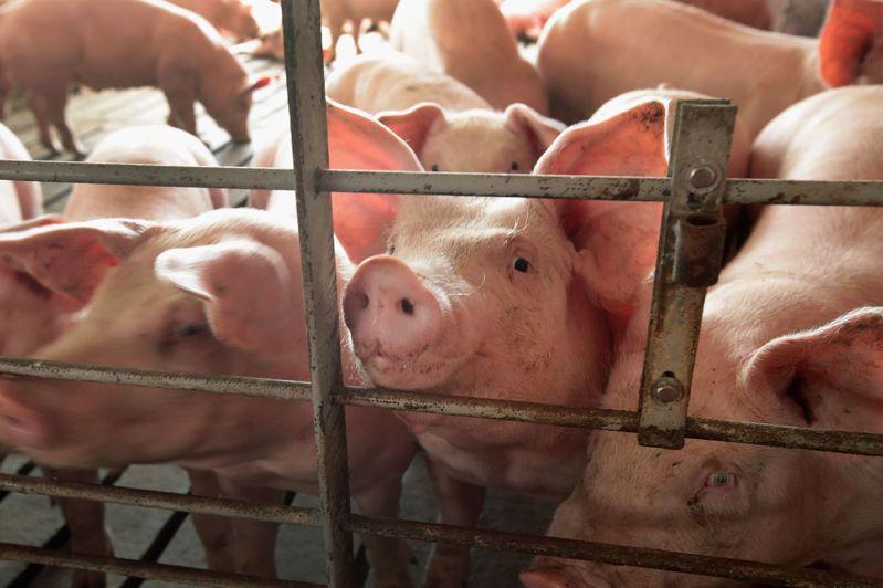 科學家在中國發現一種由豬隻帶原的新型流感病毒。豬隻示意圖。法新社