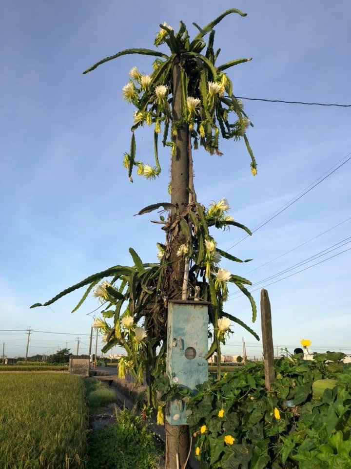 彰化縣火龍果爬上電線桿,遠望好像一棵樹。圖/靜修國小校長李遠筕提供