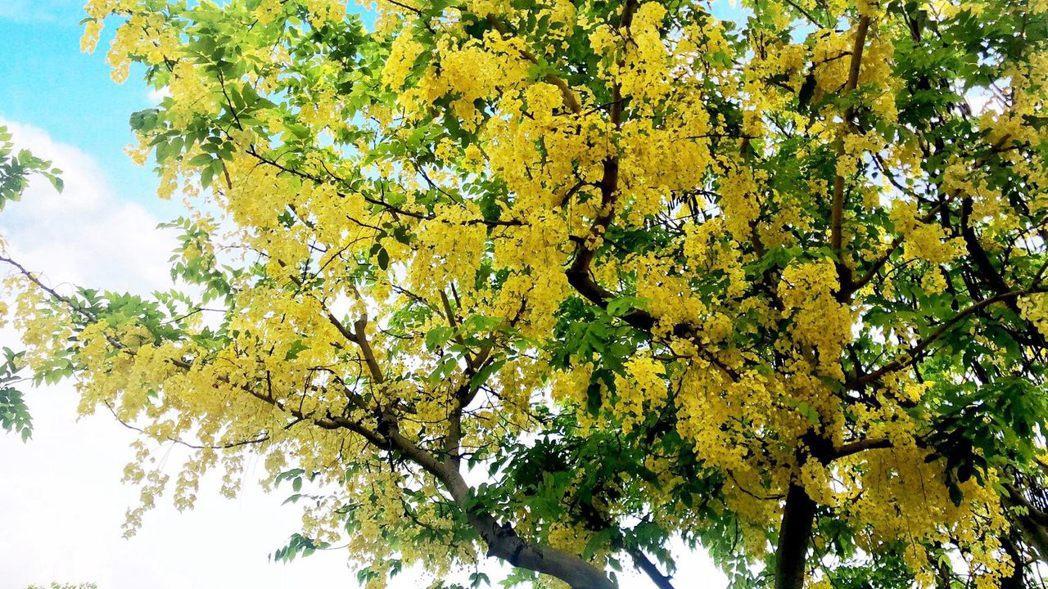 一串串黃花垂掛爭艷,形成阿勃勒黃金雨。圖/北市公園處提供