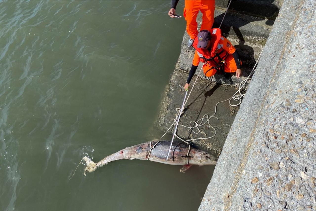 西部海域首次發現 弗氏海豚浮屍線西