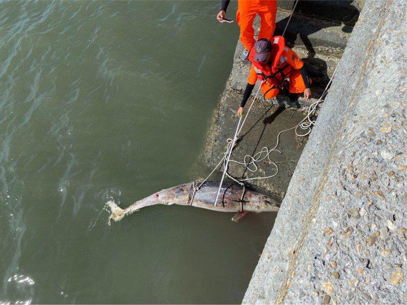 一隻死亡弗氏海豚昨天被漁民發現出現在彰化線西河道內,海巡人員將牠打撈上岸。 圖/海巡署中部分署第三岸巡隊提供