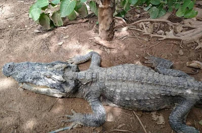 泰國沼澤有1條瘦弱鱷魚瘦如骷髏,經驗查後發現牠吞下塑膠垃圾而長期生病。(fb 專頁 Trash Lucky圖片)