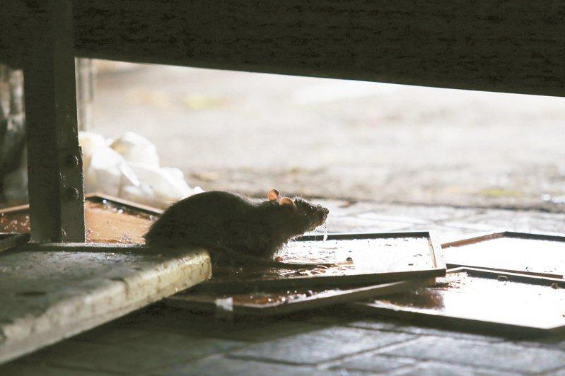 疾管署表示,漢他病毒出血熱為人畜共通傳染病,最常見的傳播宿主是老鼠。 圖/聯合報系資料照片