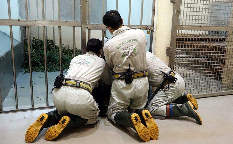 大貓熊母乳的取得相當不容易,為了配合「圓圓」趴躺下來的高度,保育員必須保持著「跪姿」。圖/台北市立動物園提供