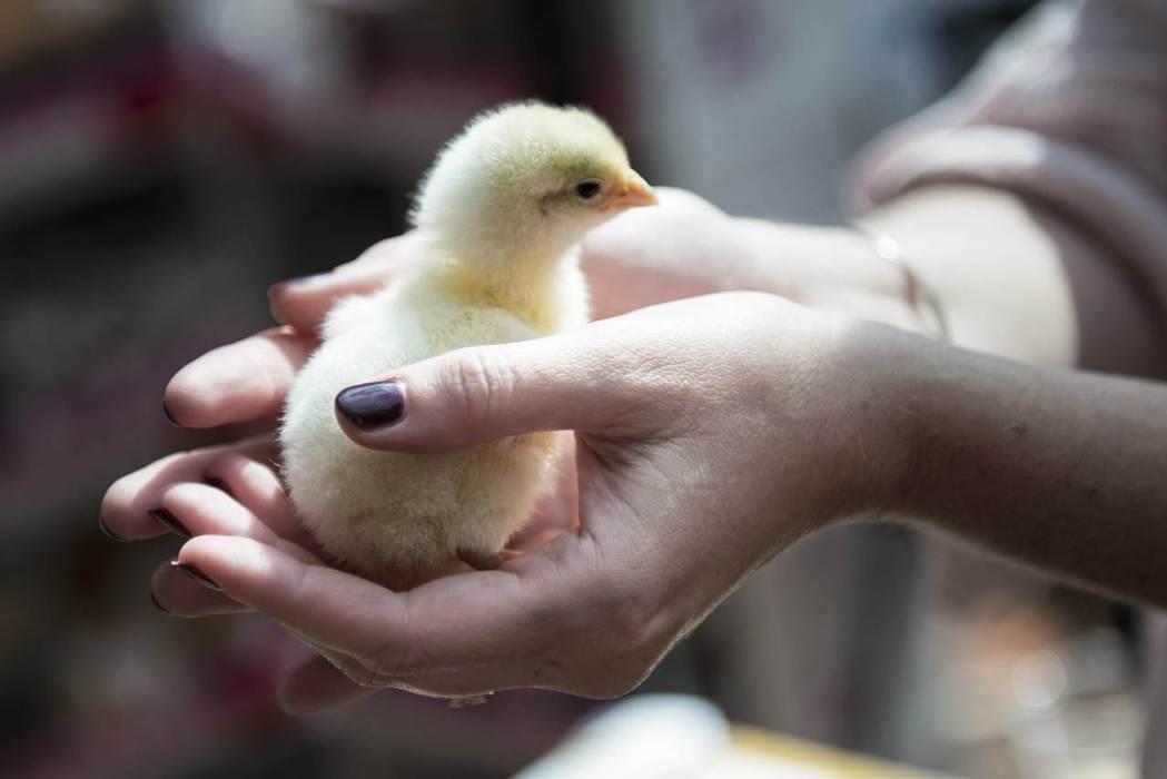 一個月即可退還的養雞方案,是重建了人與動物的連結,還是強化了都市邏輯下對動物存在的排除? 圖/法新社