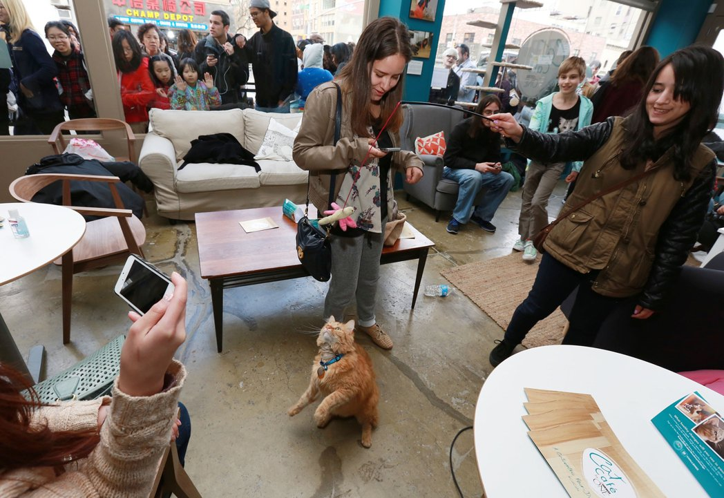 紐約的貓咪咖啡廳大排長龍。 圖/美聯社