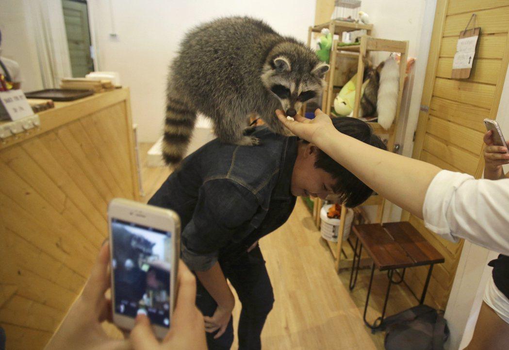 日前台北的動物咖啡廳傳出疑似虐待浣熊。圖非當事店家。 圖/美聯社