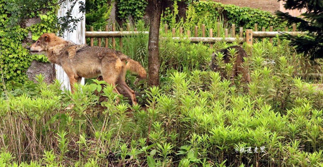 近距離的觀看野狼,從落地玻璃窗觀看野狼, 有身臨其境的感受野狼殘暴的兇狠獸性。