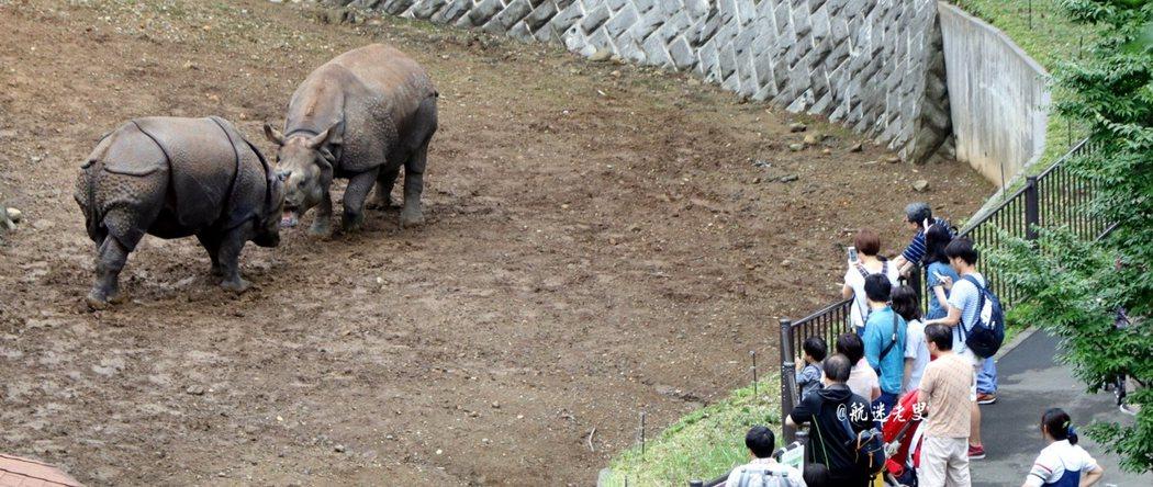 圍觀的遊客不多,可以近距離的觀看笨重的軀體,犀牛現在可是全球的珍稀瀕危物種了!