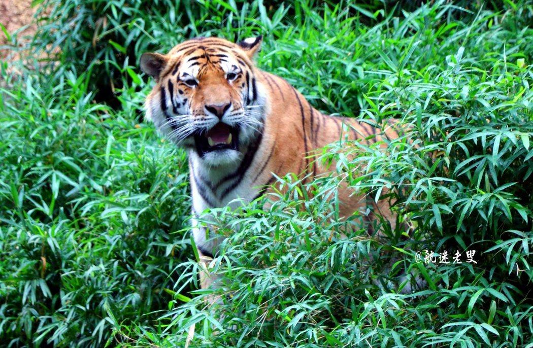 原來生活在叢林中的老虎, 看久了也不覺得牠可怕。