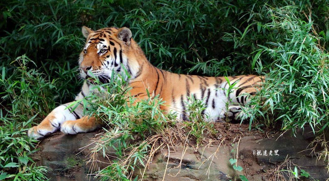 園中的大老虎悠閒的臥在草叢上,姿態很美。