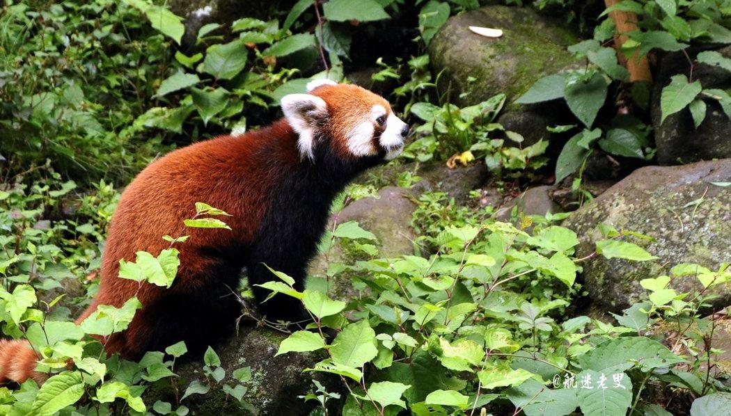 孤狸的面孔,松鼠的尾巴,熊貓的體形, 這就是浣熊。