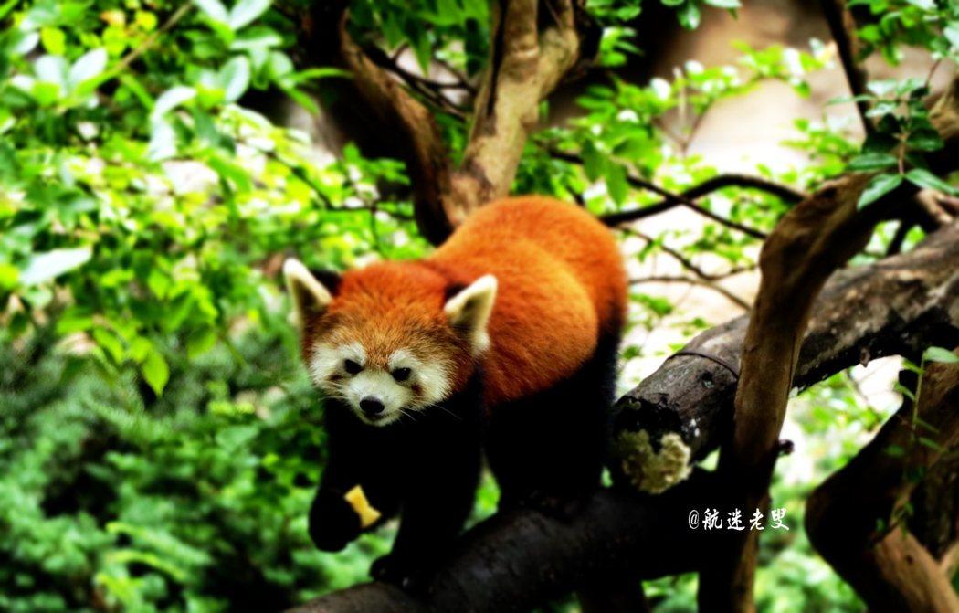 有趣的動物園,浣熊吸引著我的眼球, 有了這可愛的動物,來到動物園也充滿新意。