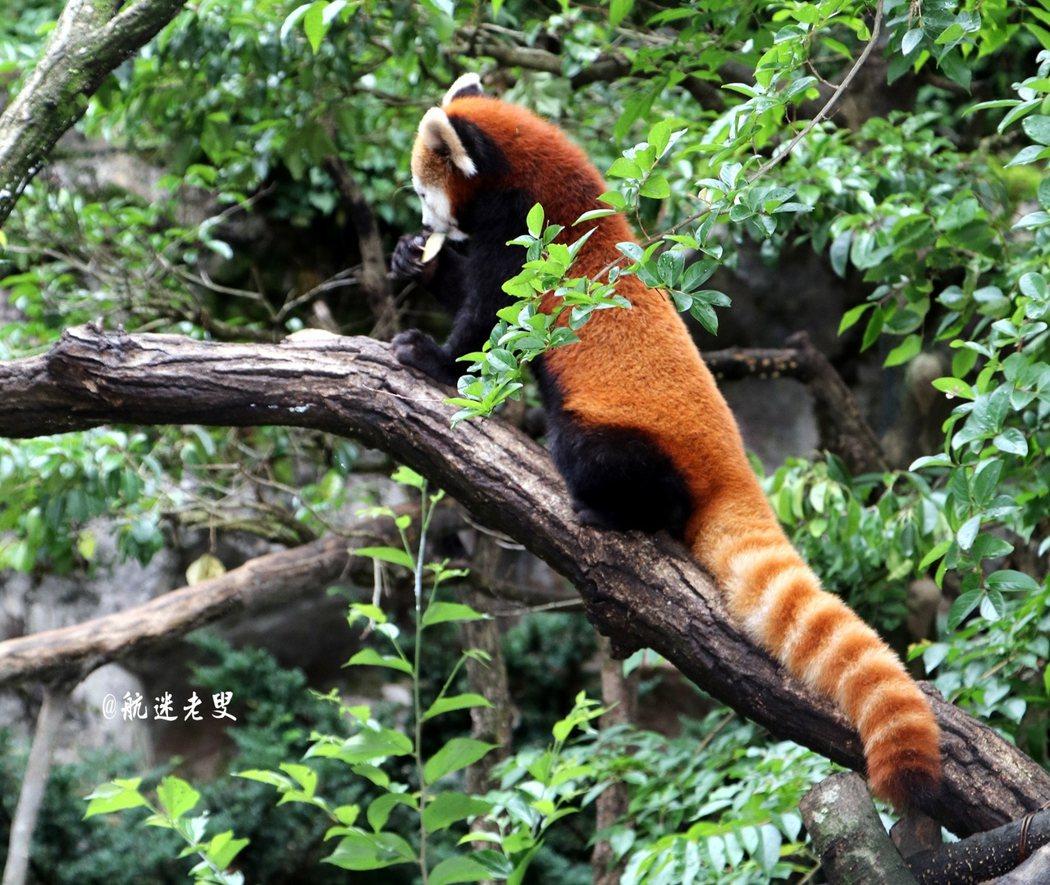萌萌可愛的浣熊,在樹上爬上爬下, 吸引我的鏡頭,隨著牠動動。