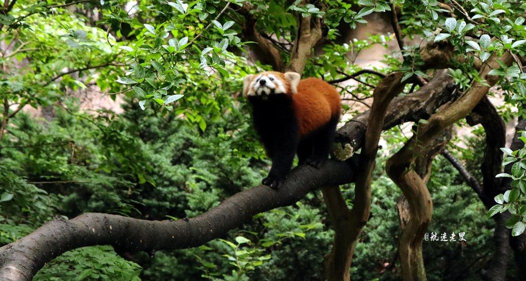 看著它那被粽色皮毛的身軀,對著你不停眨巴的小眼睛, 是不是有點兒像小小隻的熊貓?挺可愛的呢!