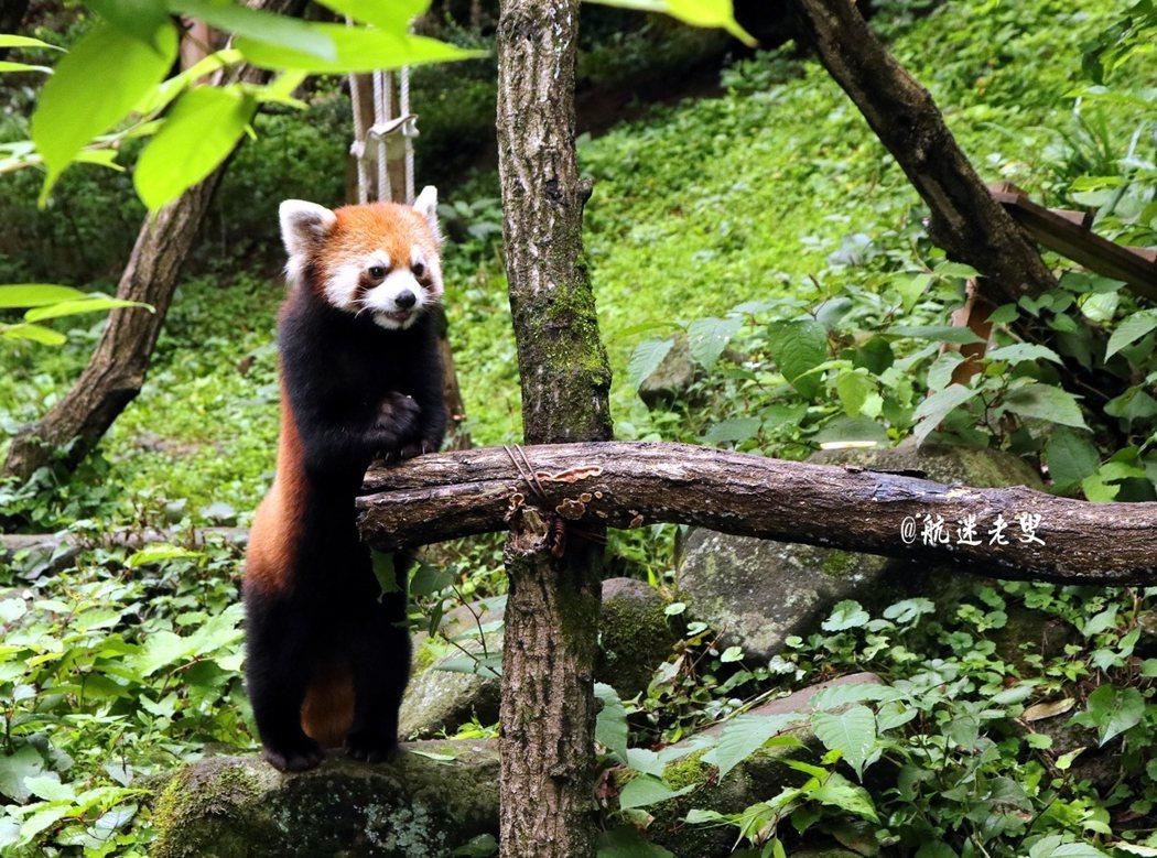 萌,浣熊看我,我拍浣熊, 動物和人類的對視~