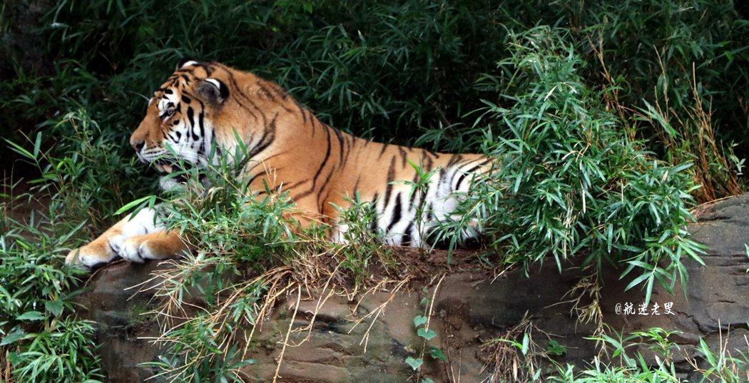 聽到老虎極具野性的叫聲, 光聽這聲老虎叫,我覺得值回票價了。