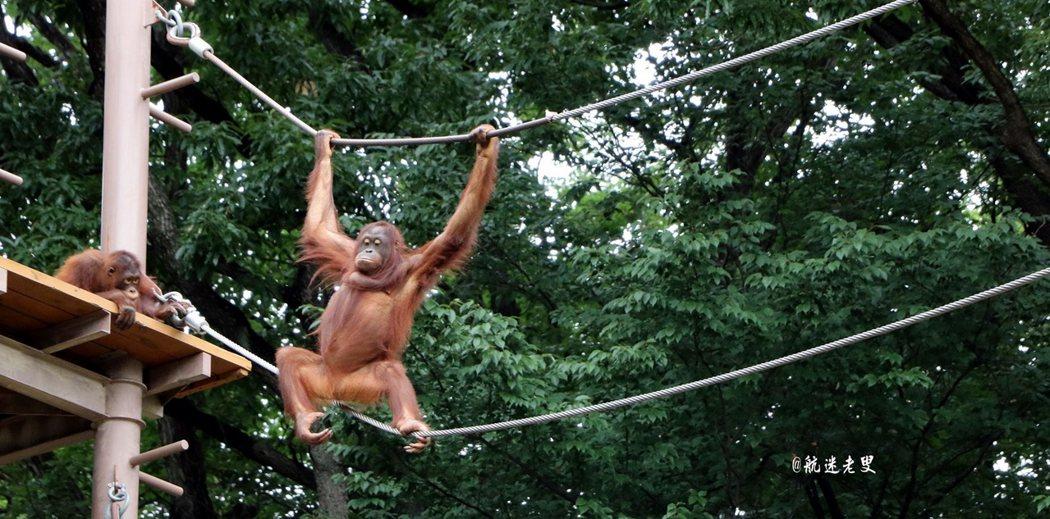活潑的猩猩在蕩秋千, 就是那種在泰山影片中看到的習性。