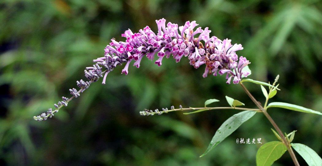 轉角的一株薰衣草,紫色開得耀眼, 這又是夏日讓人一種看得舒服的顏色。