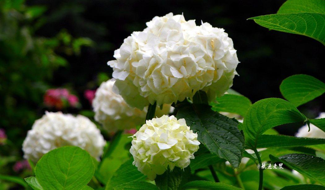 繡球花帶來夏天的光彩, 四處都可看到它在綻放, 開的絢麗,帶來夏天的熱情。