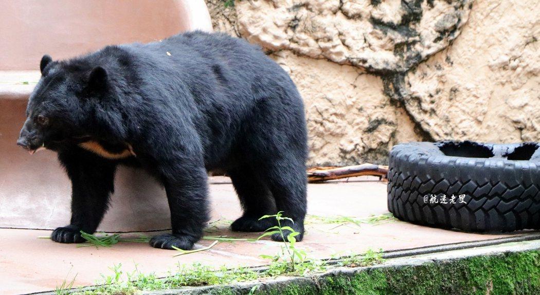 日本黑熊高大威猛,和台灣山地的黑熊體態生長環境有些相似,能近距離的看牠也很難得。